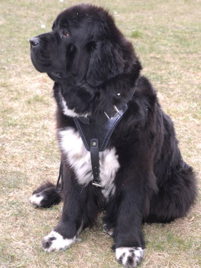 Large,best Leather Dog Harness-Newfoundland
