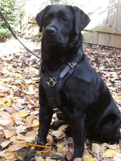 Harley Looks Superb in Padded Leather Harness for Labrador