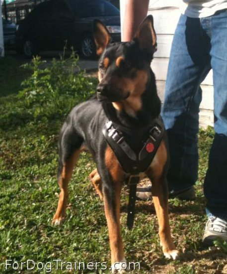 Smart dog in Agitation / Protection / Attack Leather Dog Harness