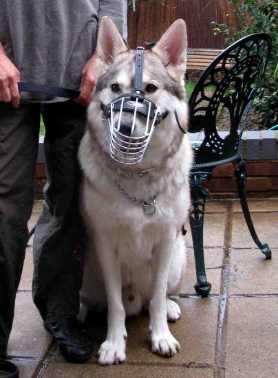 Echo wearing Wire Basket Dog Muzzle for German Shepherd