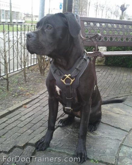 Nikita looking superb in Exclusive Luxury Handcrafted Padded Leather Dog Harness - H10