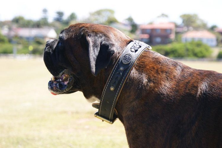 Kaiser wearing our exclusive Royal Nappa Padded Hand Made Leather Dog Collar - Fashion Exclusive Design - code C43
