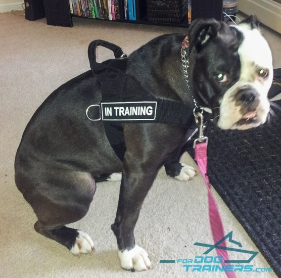 English Bulldog WEars New Perfect Control Harness with IS Patches