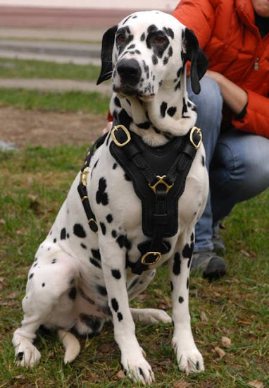 Exclusive Luxury Handcrafted Padded Leather Dog Harness-Dalmatian