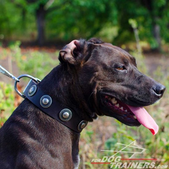 Chic Pitbull Decorated Leather Collar with Gorgeous Brooches