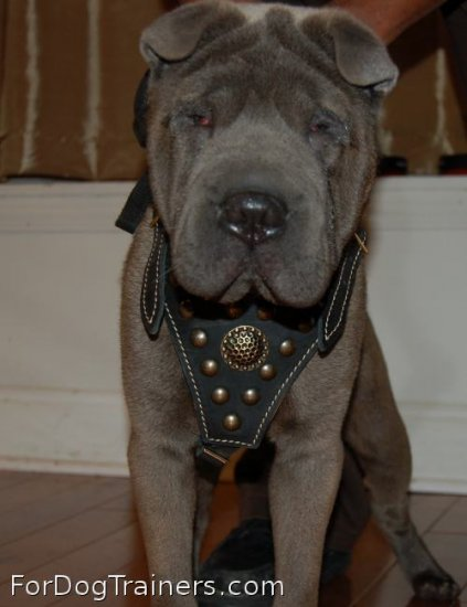 Achilles is so confident in Royal Dog Harness - Exclusive Design Studded Leather Harness - product code H11