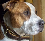 Cool dog in Royal Nappa Padded Hand Made Leather Dog Collar - code C443