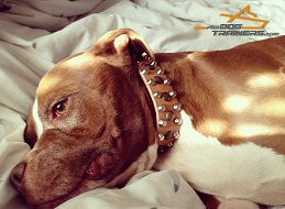 Custom Leather Pitbull Collar Matches Dadi Perfectly