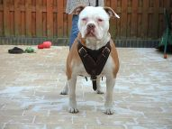 Agitation, Protection, Attack Training Leather Dog Harness with Adjustable Straps