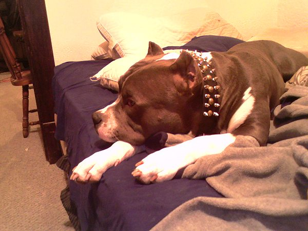 Pitbull dog training spiked and studded collar