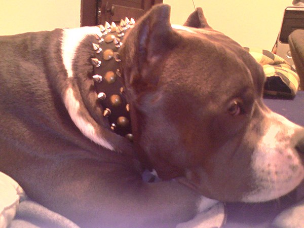 Pitbull Leather Spiked and Studded Dog Collar with Nickel Hardware