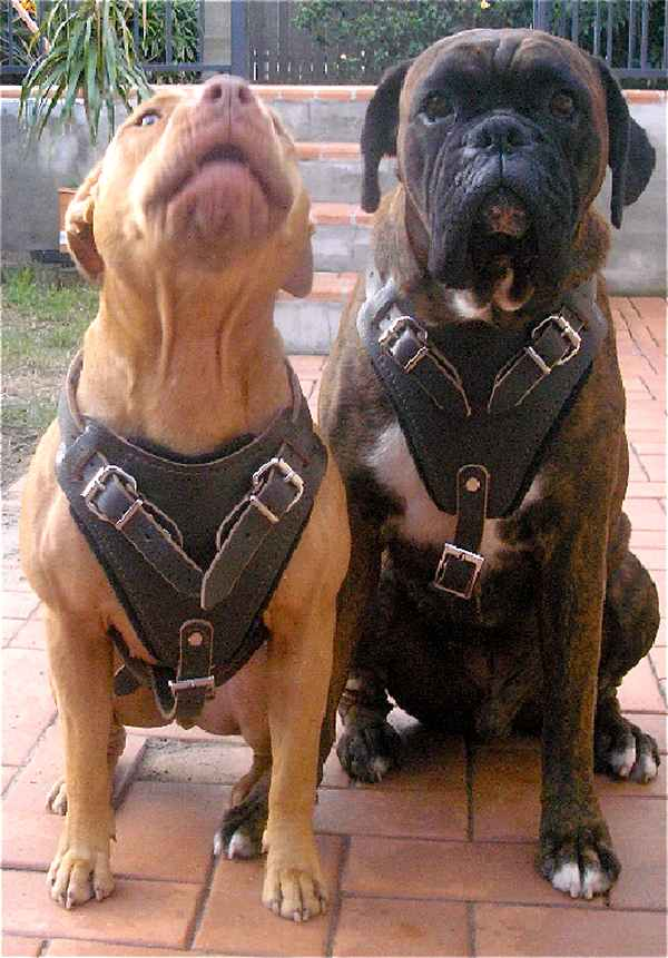 Pitbull and Boxer Protection Training Leather Dog Harness