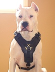 Argentine Dogo dog harness