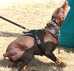 dog harness for Doberman