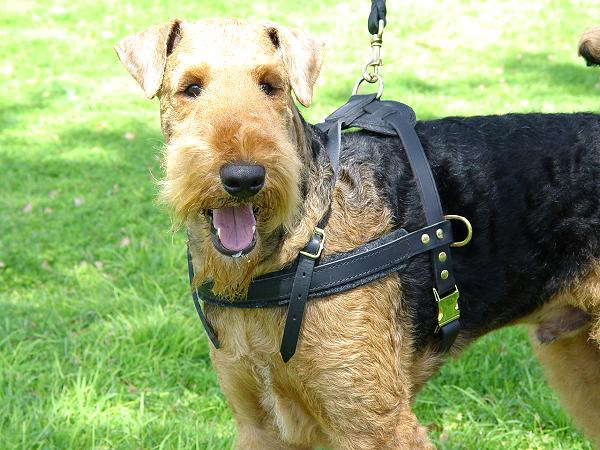 Tracking Airedale Terrier Harness