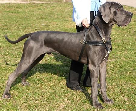 pulling tracking dog harness for great dane