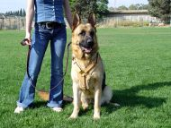 leather German Shepherd harness