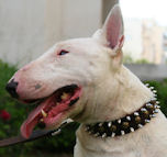Bull Terrier Leather Spiked and Studded Dog Collar
