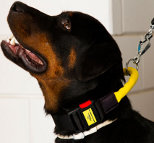 Smart Boss wearing Nylon dog collar with handle and quick release buckle