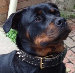Adorable Rottweiler wearing leather dog collar with 2 rows of nickel-plated spikes