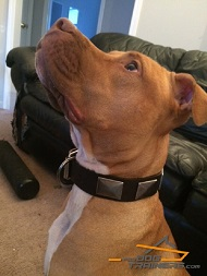 Pitbull is fantastic in this War Leather Dog Collar with Massive Plates