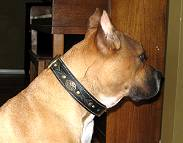Bella looks great in our Royal Nappa Padded Hand Made Leather Dog Collar - Fashion Exclusive Design - code C43