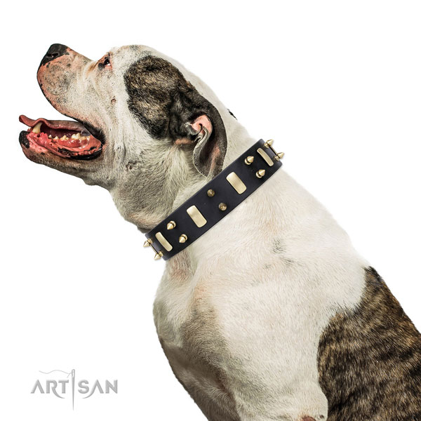 American Bulldog best quality full grain leather dog collar with adornments