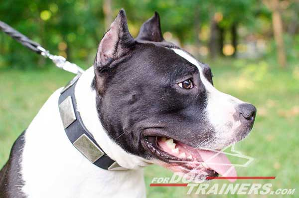 Walking Leather Amstaff Collar