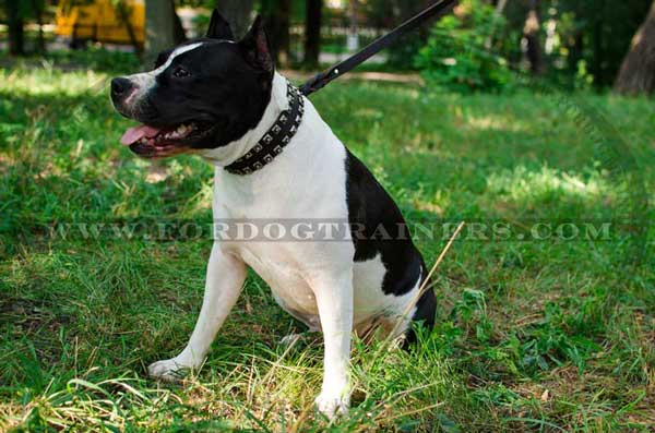 Leather Amstaff Collar with Studs