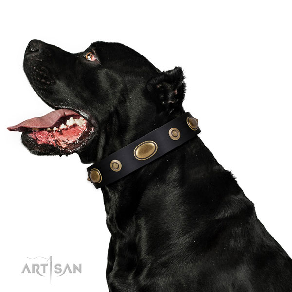 Cane Corso basic training dog collar of extraordinary quality genuine leather