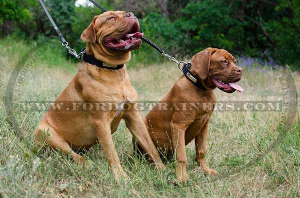 Leather Dogue de Bordeaux Collar with Name Plate
