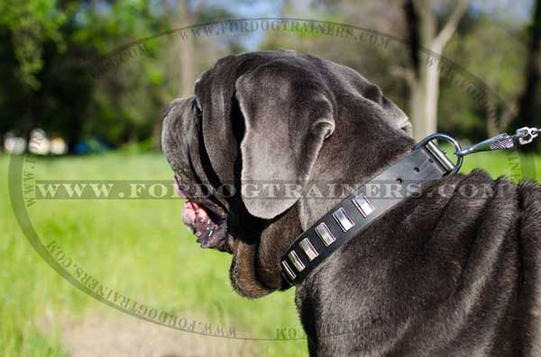 Durable Hardware on Mastino Napoletano Collar