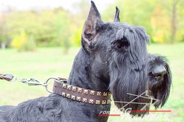 Riesenschnauzer leather dog collar