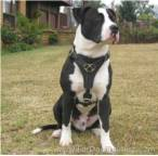 Great looking Tyson wearing our handcrafted leather dog harness for Pitbulls