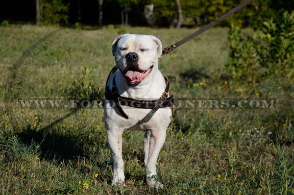Pulling dog harness for American Bulldog breed