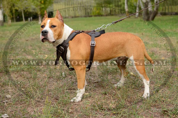 Padded Leather Amstaff Harness with Quick Release Buckle