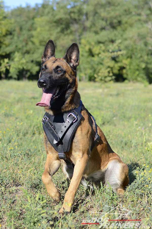 Adjustable Leather Belgian Malinois Harness