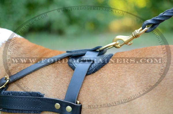 Brass D-ring on Staffordshire Terrier Harness Leather for Pulling