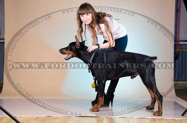 Leather Doberman Harness for basic training
