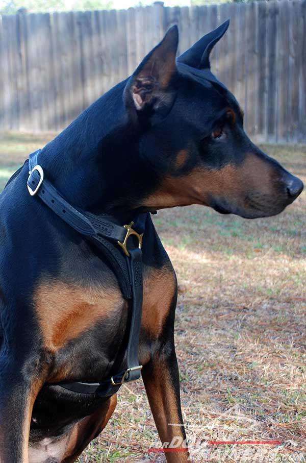 Adjustable Leather Doberman Harness with padded chest plate