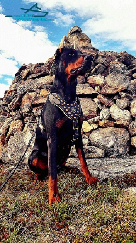 Padded Leather Harness for Doberman Walking and Training