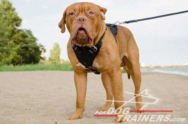 Professional Dog Training Leather Harness for Dogue-de-Bordeaux