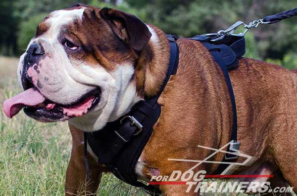 Padded Leather English Bulldog Harness