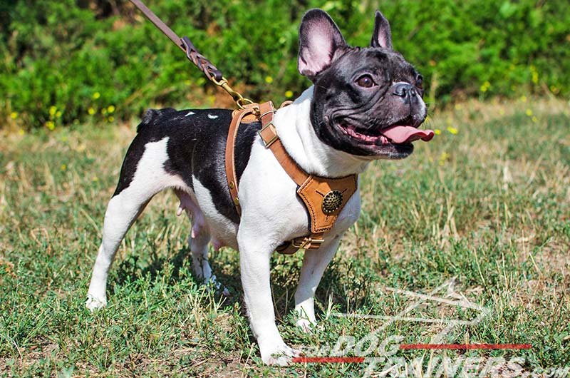 Royal Looking Leather French Bulldog Harness