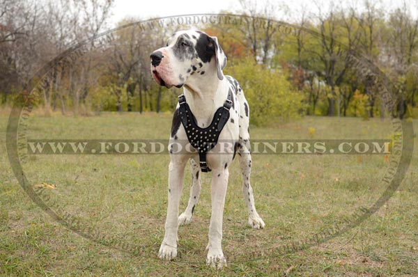 Leather Great Dane Harness with Fashionable Decoration