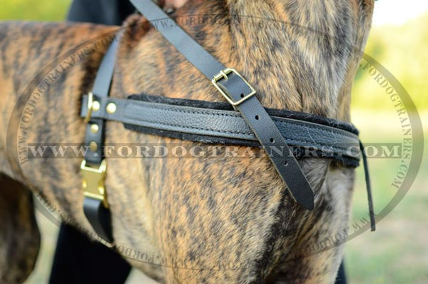 Soft padding for extra comfy pulling leather Great Dane harness