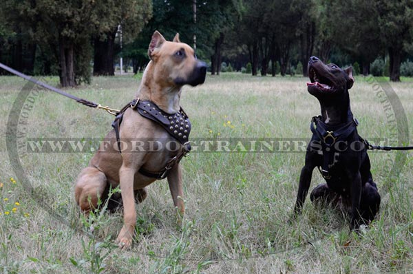 Extra wide chest plate for leather Pitbull harness