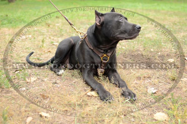 Leather Pitbull harness without chest plate for tracking