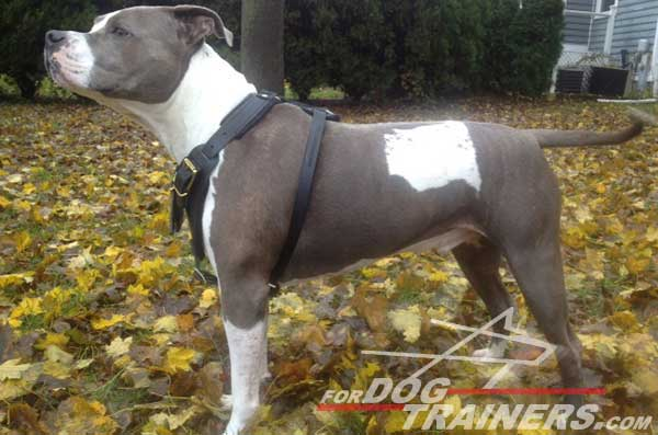 Walking Pitbull harness with soft leather straps