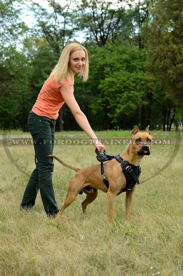 Everyday use walking leather Pitbull harness